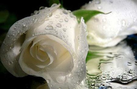 Белые розы 10 фото